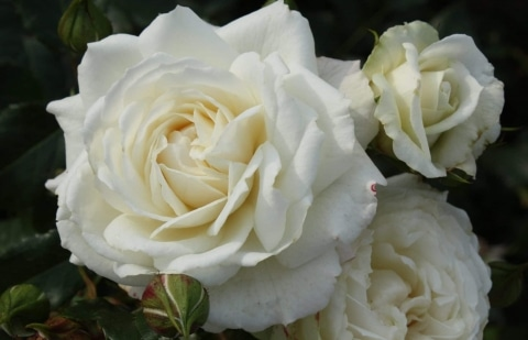 klimroos - Rosa 'Alaska'