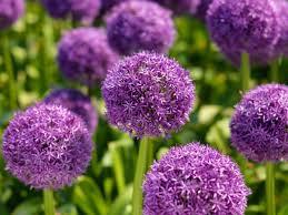 sierui - Allium  'Globemaster'
