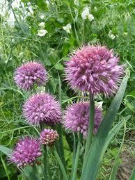 sierui - Allium nutans  'Caroline'