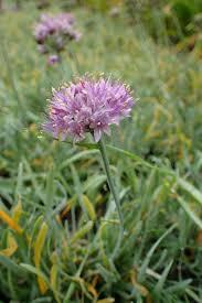 sierui - Allium senescens 'Glaucum'