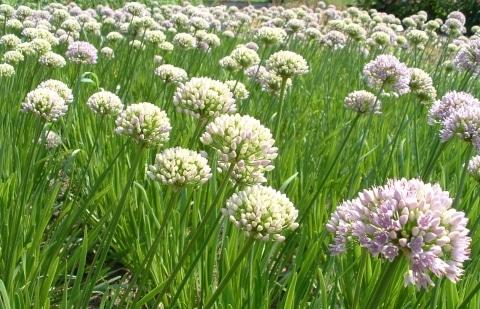 sierui - Allium senescens