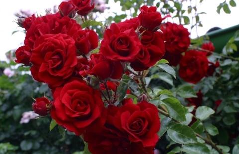 klimroos - Rosa 'Amadeus'
