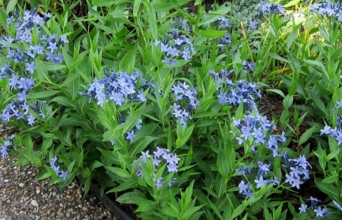 blauwe ster - Amsonia 'Blue Ice'