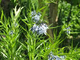 blauwe ster - Amsonia  tab. 'Hexan'
