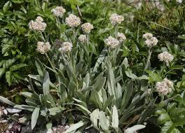 siberische edelweiss - Anaphalis alpicola
