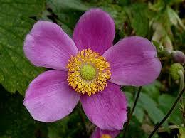 anemoon - Anemone  hup. 'Splendens'