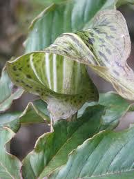 cobralelie - Arisaema nepenthoides