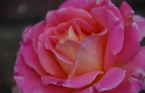 struikroos - Rosa 'Audrey Wilcox'