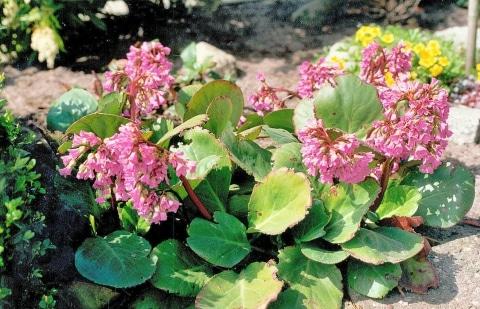 schoenlappersplant - Bergenia  'Abendglut'
