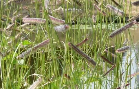 muskietengras - Bouteloua gracilis