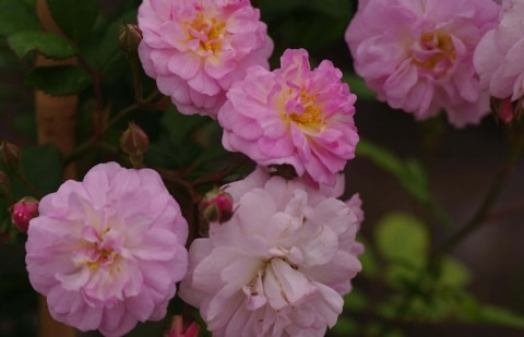 klimroos (rambler) - Rosa ' Brise Parfum'
