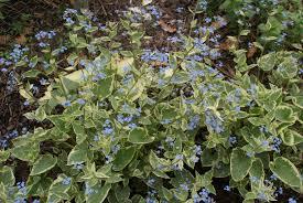 vaste vergeet mij niet - Brunnera macrophylla 'Variegata'