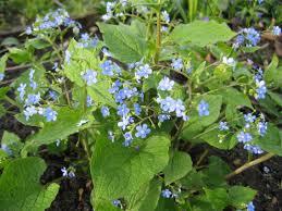 vaste vergeet mij niet - Brunnera macrophylla