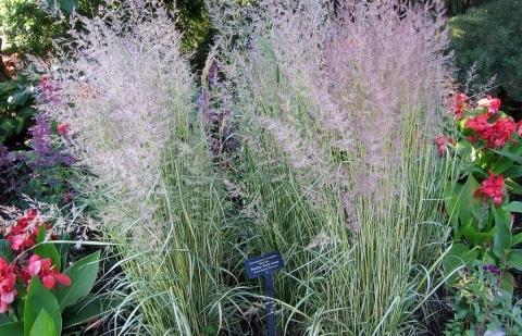 struisriet - Calamagrostis acutifolia 'Eldorado'