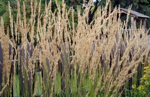 struisriet - Calamagrostis acutifolia 'Avalanche'