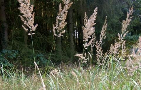 struisriet - Calamagrostis  sp. 'Korea'
