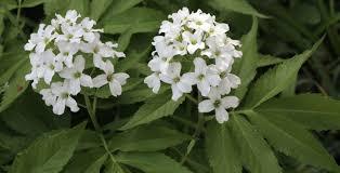pinksterbloem - Cardamine heptaphylla