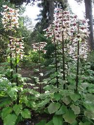 reuzenlelie - Cardiocrinum giganteum