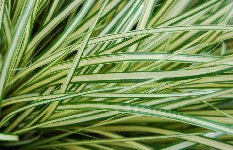 zegge - Carex oshim. 'Evergold'