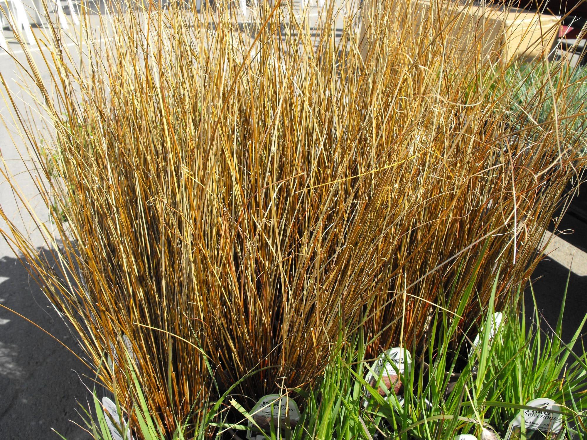 zegge - Carex buchananii