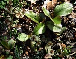 goudveil - Chrysoplenium macrophyllum