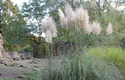 pampasgras - Cortaderia selloana 'Pumila'