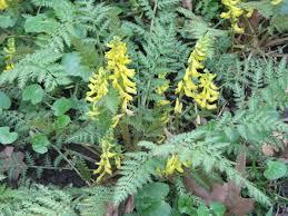 helmbloem - Corydalis cheilanthifolia