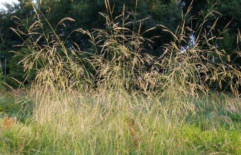 smele - Deschampsia cespitosa 'Goldschleier'