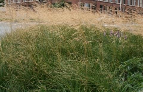 smele - Deschampsia cespitosa 'Goldtau'