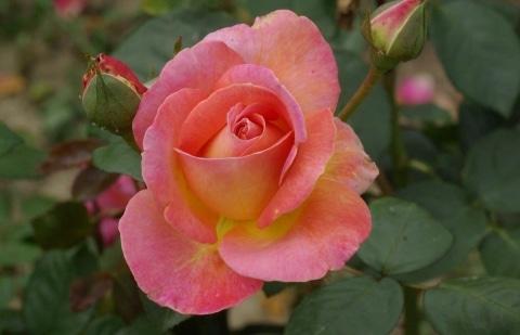 struikroos - Rosa 'Elle' (Meilland)