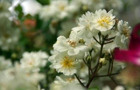 klimroos - Rosa 'Guirlande d'Amour'