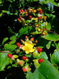 hertshooi,sint janskruid - Hypericum 'Rose Flair'