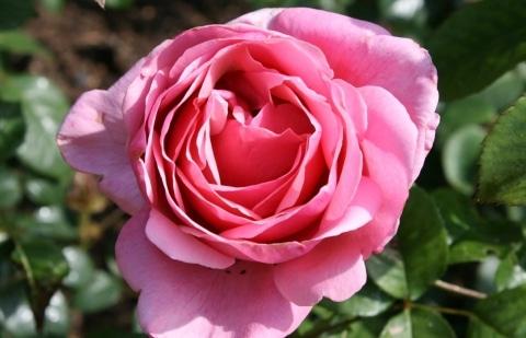 struikroos - Rosa 'Line Renaud'