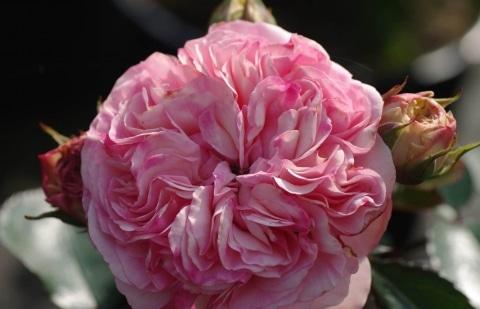 struikroos - Rosa 'Mariatheresia
