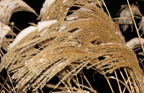 prachtriet - Miscanthus sinensis ' Federweiße'