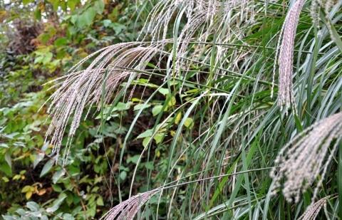 prachtriet - Miscanthus sinensis 'Ferner Osten'