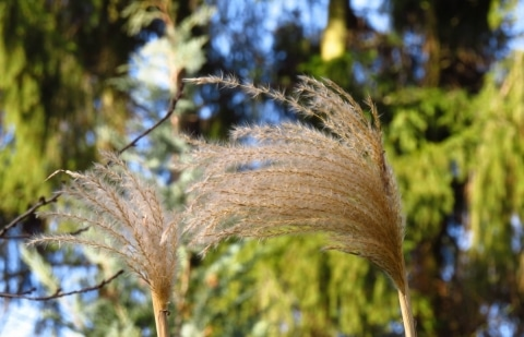 prachtriet - Miscanthus  sinensis 'Nepalensis'