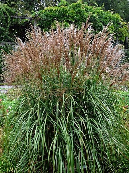 prachtriet - Miscanthus sinensis 'Red Chief'