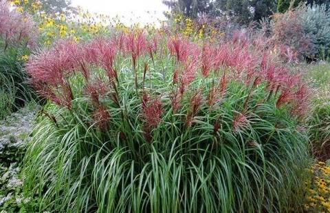 prachtriet - Miscanthus sinensis 'Roter Pfeil'