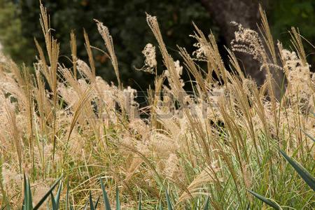 prachtriet - Miscanthus sinensis 'Sioux'