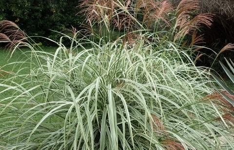 prachtriet - Miscanthus sinensis 'Variegatus'