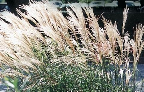 prachtriet - Miscanthus sinensis 'Yaku Jima'