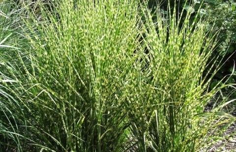 prachtriet - Miscanthus sinensis 'Little Zebra'®
