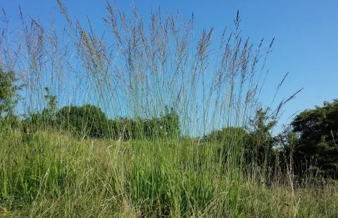 pijpestrootje - Molinia arund.'Windspiel'