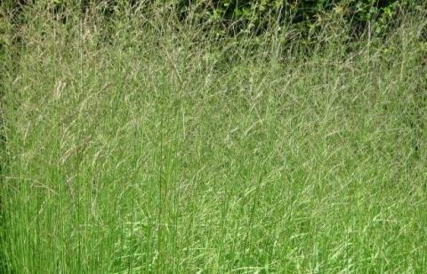 pijpestrootje - Molinia caerulea 'Fontäne'