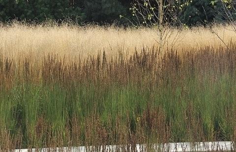 pijpestrootje - Molinia caerulea 'Moorhexe'