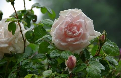 klimroos - Rosa 'New Dawn'