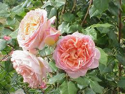 pioenroos - Paeonia itho  'Julia Rose'