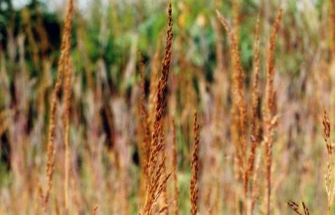 indianengras - Sorghastrum nutans 'Type Voigt'
