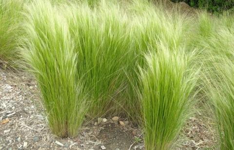 vedergras - Stipa arundinacea